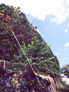 ぎこちない手つきで、初めての甘柿収穫。